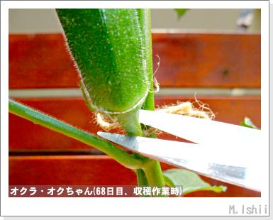 ペット栽培III(オクラ)25