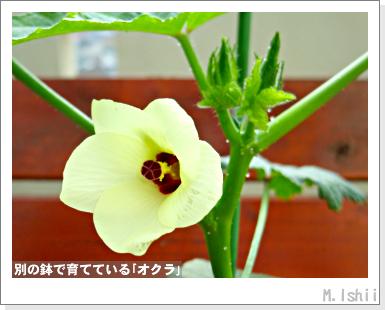ペット栽培III(オクラ)33