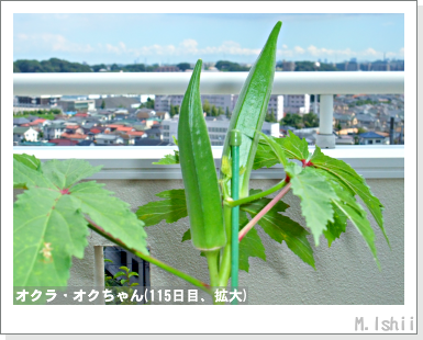ペット栽培III(オクラ)39