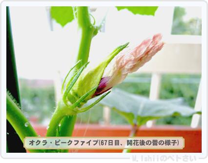 ペトさい(オクラ)49