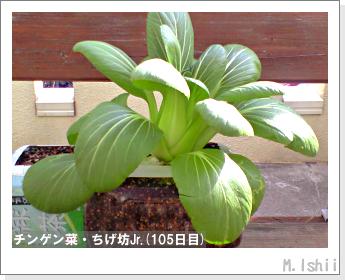 ペット栽培II(チンゲン菜)41