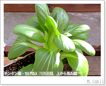ペット栽培II(チンゲン菜)42
