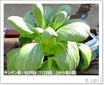 ペット栽培II(チンゲン菜)44