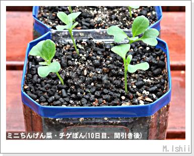 ペット栽培III(ミニちんげん菜)06