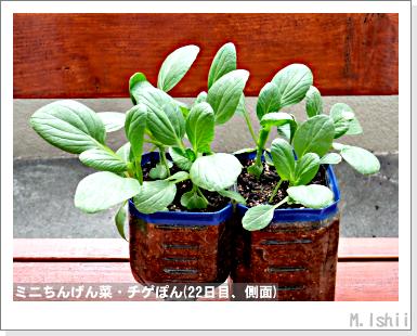 ペット栽培III(ミニちんげん菜)09