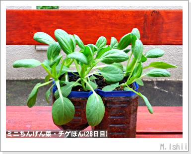 ペット栽培III(ミニちんげん菜)10