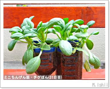 ペット栽培III(ミニちんげん菜)11