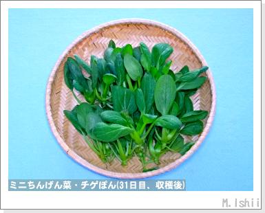 ペット栽培III(ミニちんげん菜)12