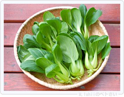 ペトさい(ミニチンゲン菜)24