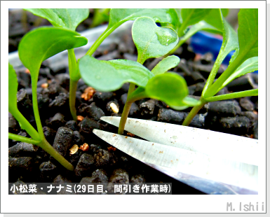 ペット栽培III(小松菜)08