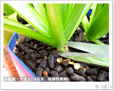 ペット栽培III(小松菜)18