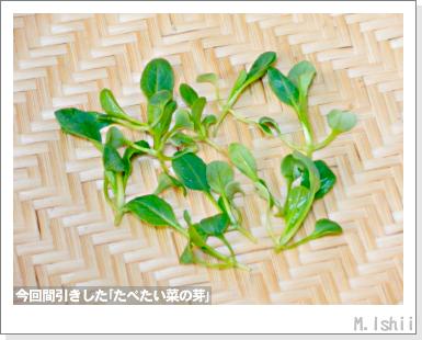 ペット栽培III(たべたい菜)12