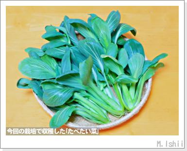 ペット栽培III(たべたい菜)26
