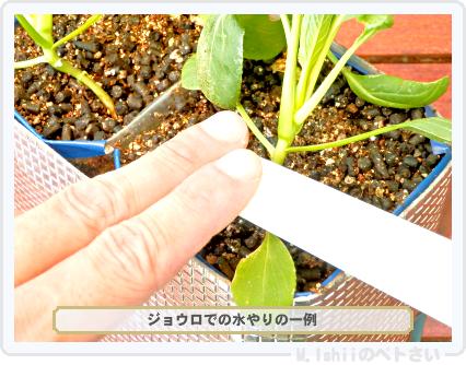 ペトさい(たべたい菜)46