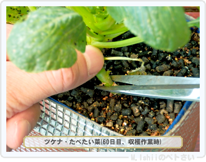 ペトさい(たべたい菜)52