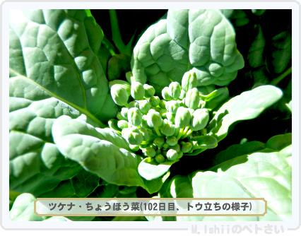 ペトさい(ちょうほう菜)27