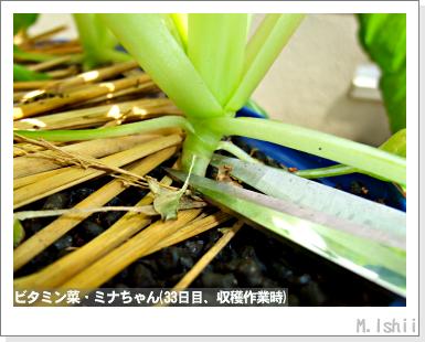 ペット栽培III(ビタミン菜)16