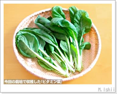 ペット栽培III(ビタミン菜)17