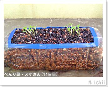 ペット栽培・試験録(べんり菜)10