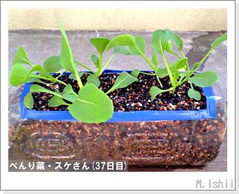 ペット栽培・試験録(べんり菜)18