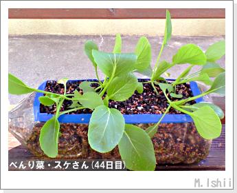 ペット栽培・試験録(べんり菜)19
