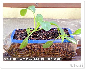ペット栽培・試験録(べんり菜)20