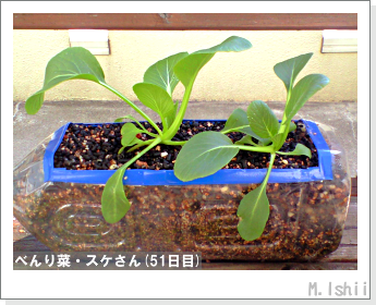 ペット栽培・試験録(べんり菜)21