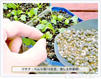 ペトさい(べんり菜)21