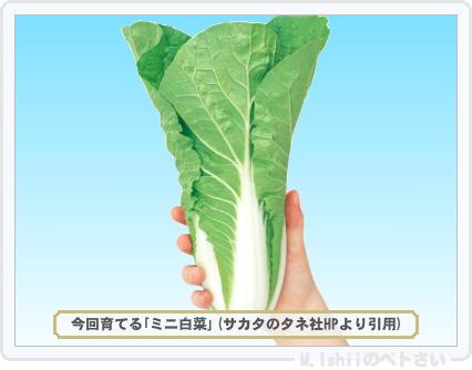 ペトさい(ミニ白菜)01