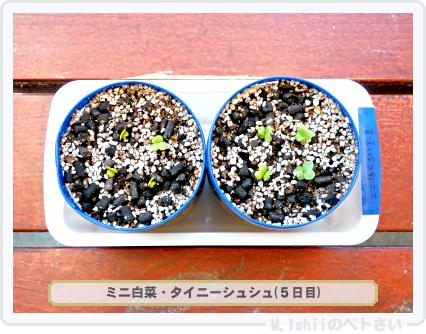 ペトさい(ミニ白菜)11