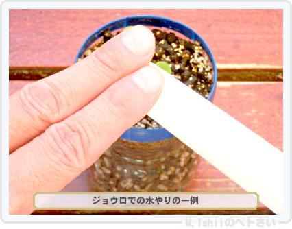 ペトさい(ミニ白菜)16