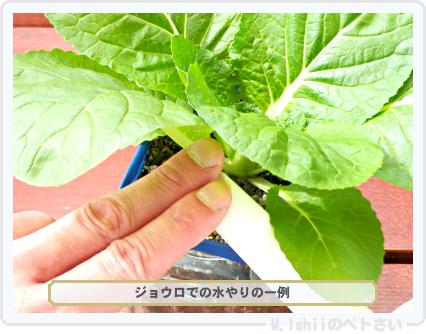 ペトさい(ミニ白菜)32