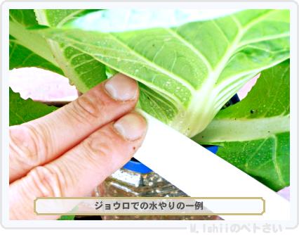 ペトさい(ミニ白菜)39