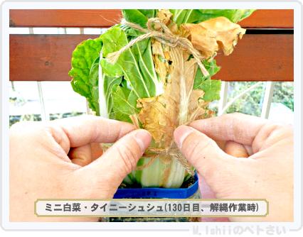 ペトさい(ミニ白菜)58