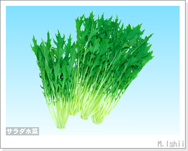 ペット栽培III(サラダ水菜)01