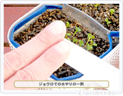 ペトさい(サラダ水菜)19