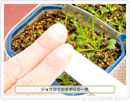 ペトさい(サラダ水菜)28