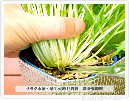 ペトさい(サラダ水菜・改)44