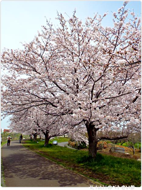 HAMA桜2017_02