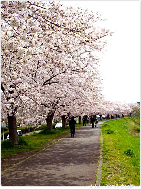 HAMA桜2017_04