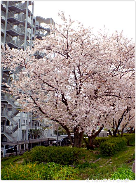 HAMA桜2017_09