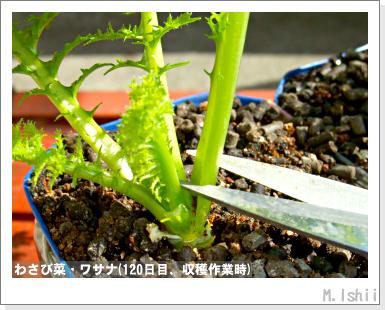 ペット栽培III(わさび菜)31