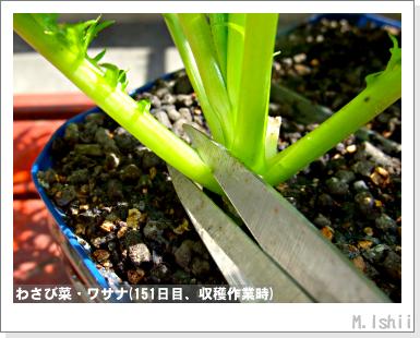 ペット栽培III(わさび菜)39