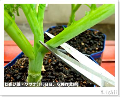 ペット栽培III(わさび菜)46