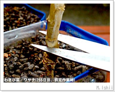 ペット栽培III(わさび菜)61