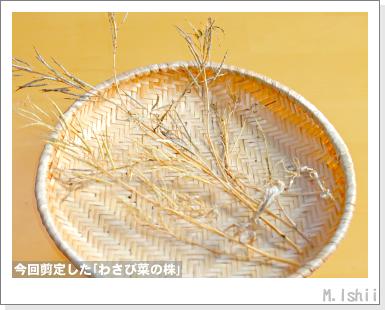 ペット栽培III(わさび菜)62