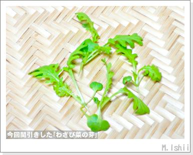 ペット栽培III(わさび菜・改)17
