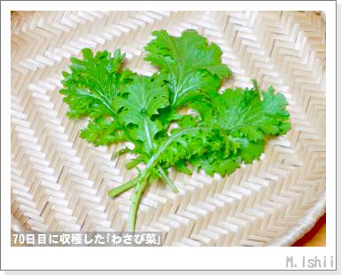 ペット栽培III(わさび菜・改)29