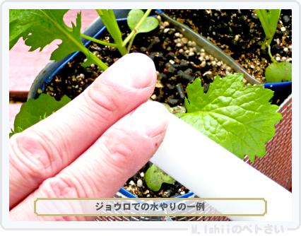 ペトさい(わさび菜・改)33
