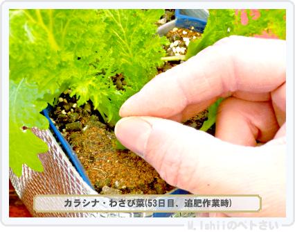 ペトさい(わさび菜・改)38